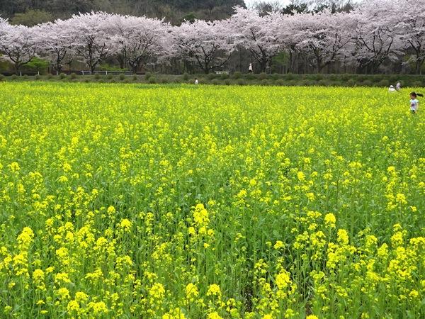 巾着田 菜の花