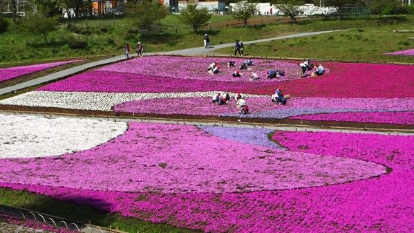 羊山公園,芝桜