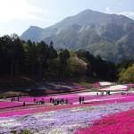 羊山公園の芝桜が見頃を迎えたので見に行った。開花状況は?