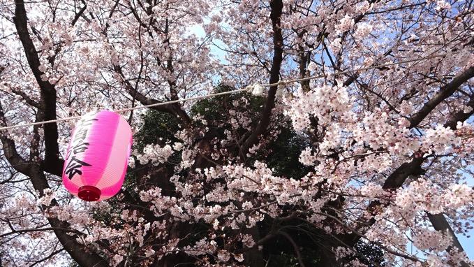 東光寺 お花見 桜