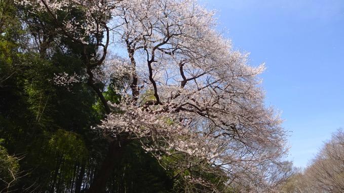 北本自然観察公園 エドヒガンザクラ お花見
