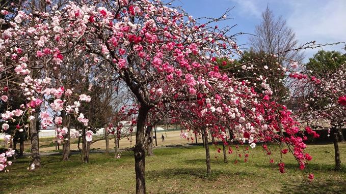 桶川市 城山公園 桜 花見 源平桃