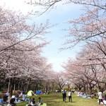 桶川市の桜の名所 城山公園で花見。開花状況はこんな感じ。