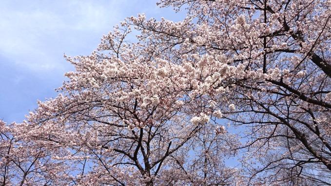 桶川市 城山公園 桜 花見