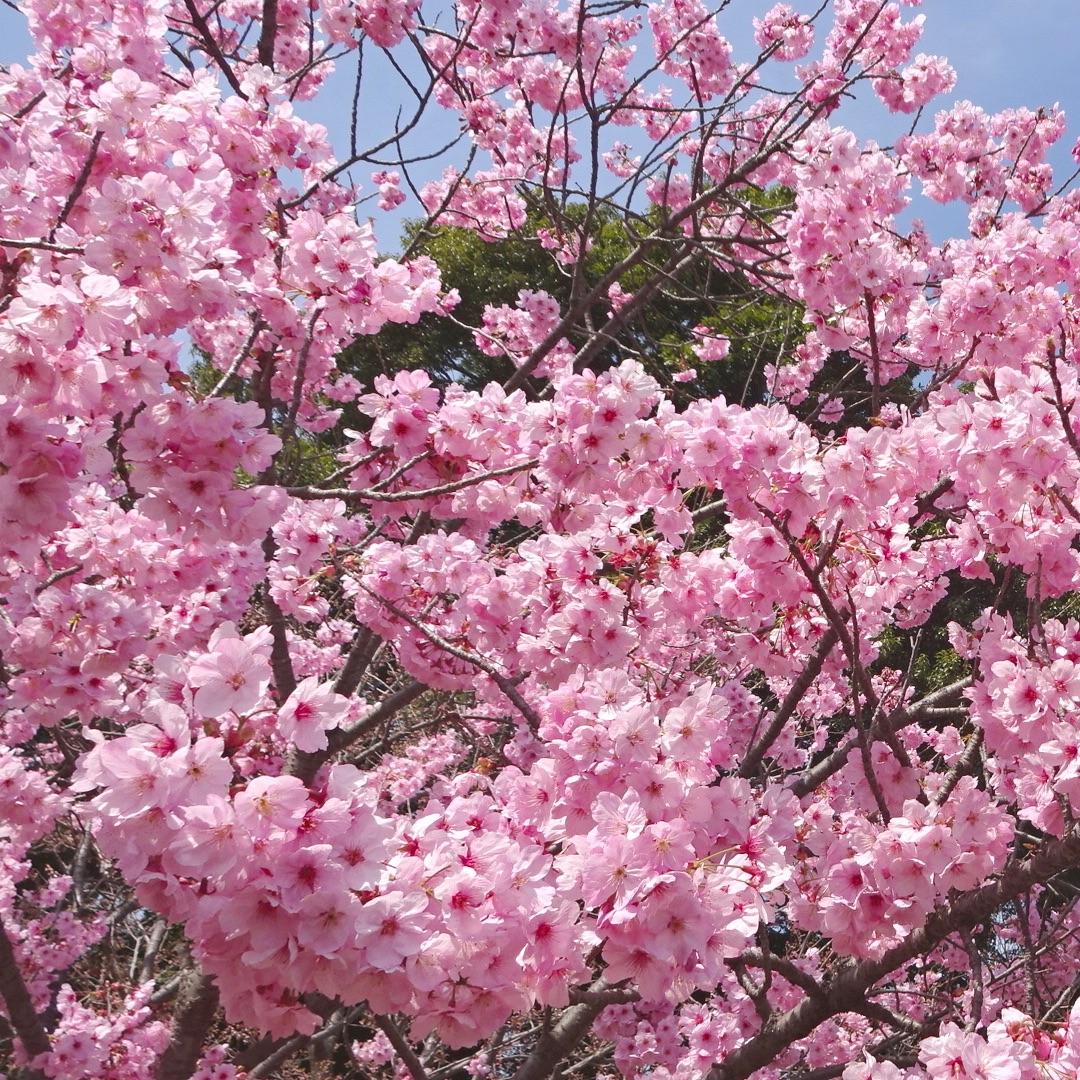 北本市 桜 お花見