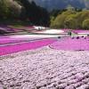 羊山公園の芝桜が見頃を迎えたので、昨年の開花状況や会場の様子を振り返ってみる。