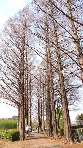 上尾丸山公園 メタセコイア