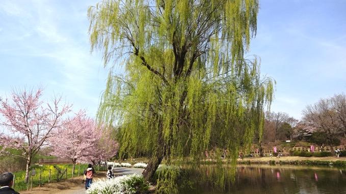 上尾丸山公園 桜 花見