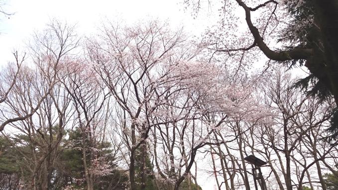 上尾運動公園 桜 花見