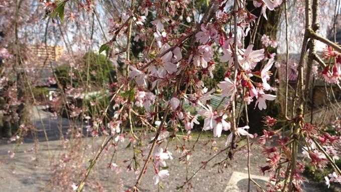 梅岩寺 しだれ桜