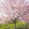 上尾市 丸山公園と運動公園で花見。開花状況はこんな感じ。