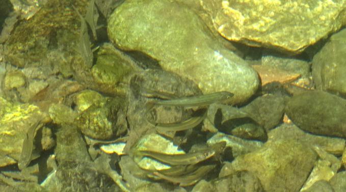 三波渓谷 魚