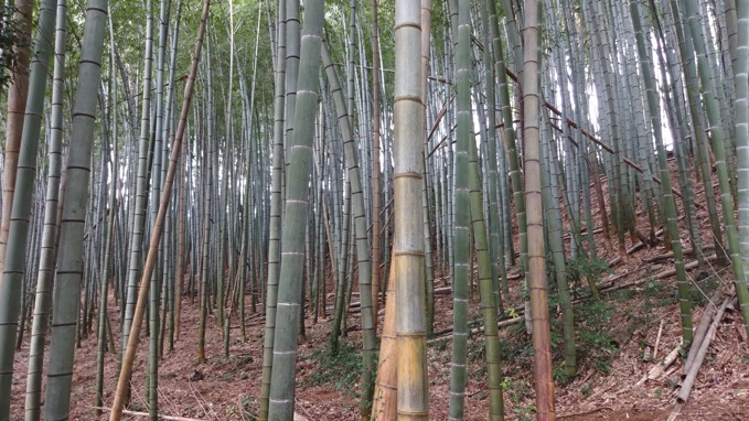 秋川丘陵ハイキング 竹林