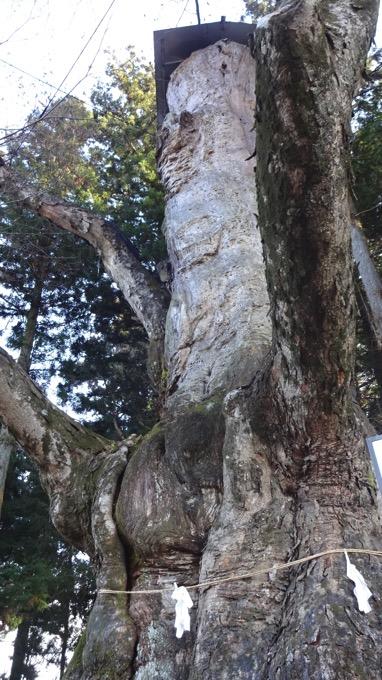 親都神社の大ケヤキ 親都神社