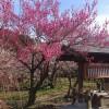 越生梅林の開花状況をレポート。見頃を迎えた梅まつりに行ってきた!