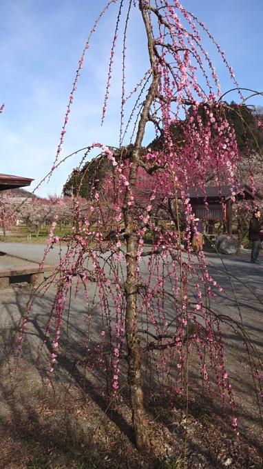越生梅林 梅まつり 枝垂れ梅