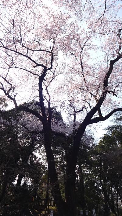 喜多院 桜 仙波東照宮