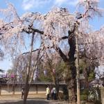 喜多院(川越)の桜の開花状況をレポート。現在はこんな感じ。