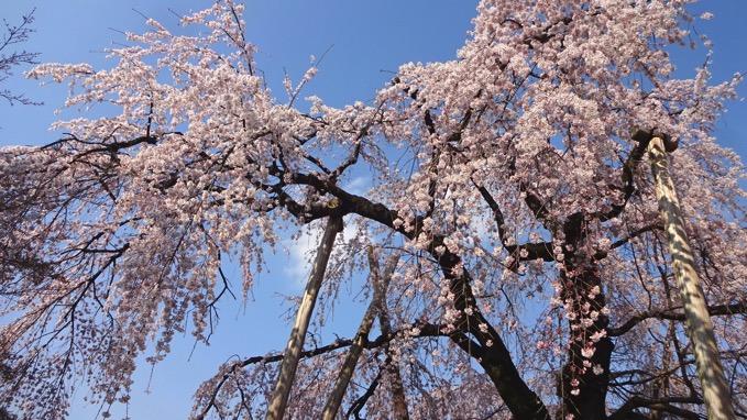 喜多院 しだれ桜