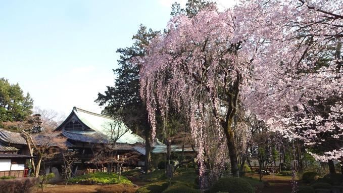 喜多院 桜