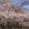 与野公園の桜の開花状況をレポート。現在こんな感じ [埼玉県さいたま市]