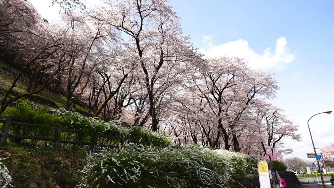 津久井湖観光センター前 桜