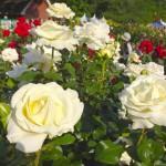 与野公園のバラの開花状況をレポート。「ばらまつり」開催!