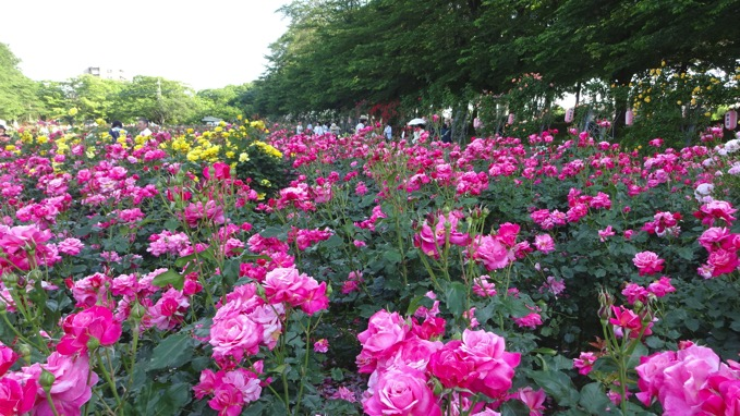 与野公園 バラ 開花状況