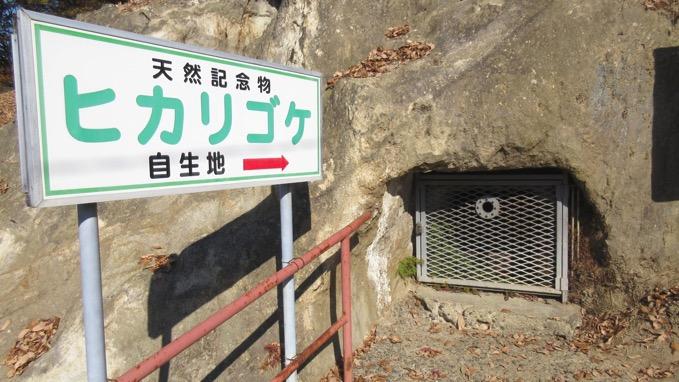 ヒカリゴケ 天然記念物
