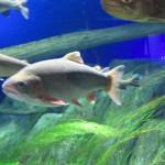 サケのふるさと千歳水族館|日本最大級の淡水魚水族館を観てきた!