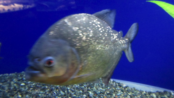 千歳水族館 ピラニア
