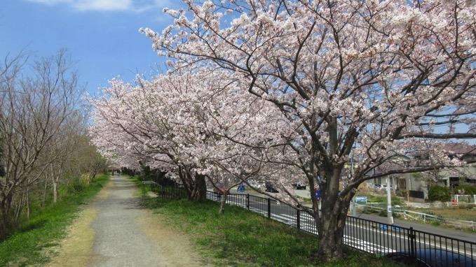 花水川 桜