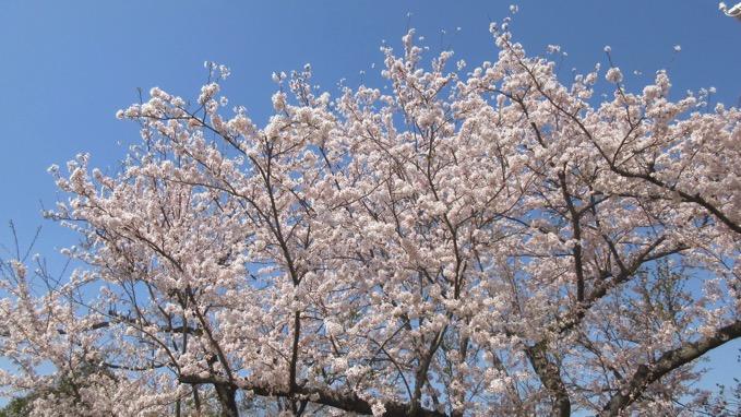 湘南平 桜