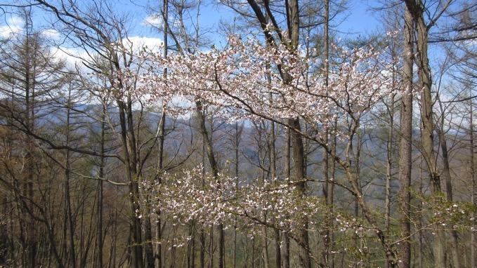 百蔵山 山頂 桜