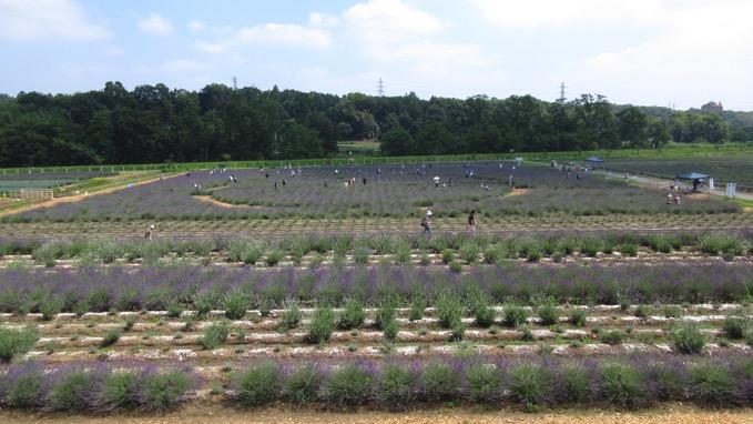 ラベンダー園 千年の苑